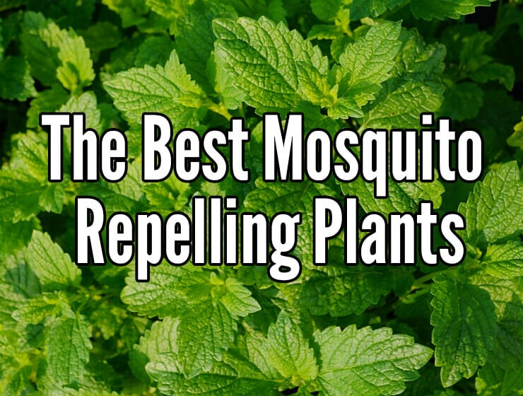 6 plants that repel mosquitoes for Best plants to keep mosquitoes away