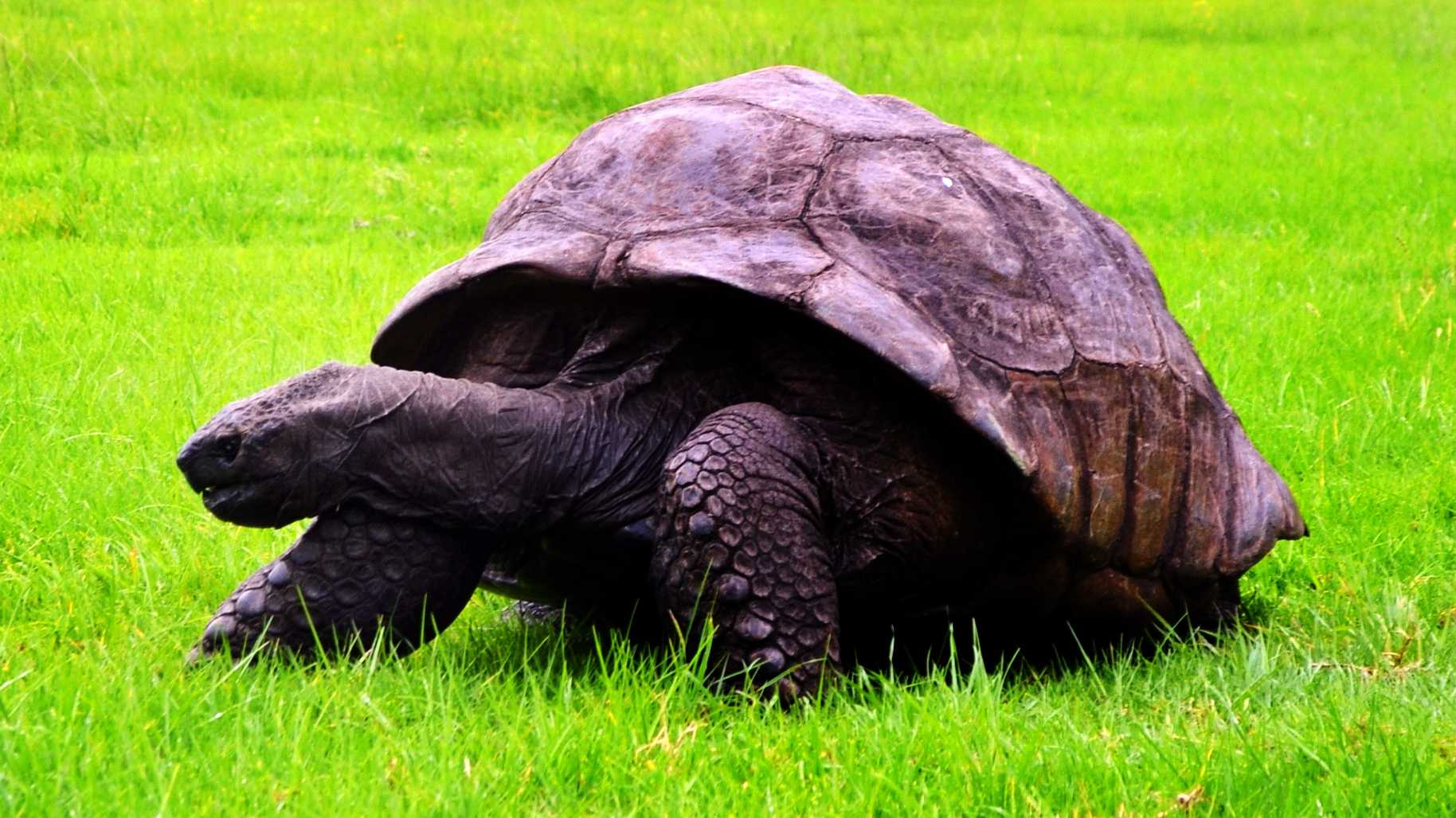 The Giant Tortoise Jonathan